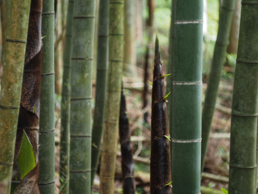 Vancouver Island Blacksmith in Japan: Walk through a Japanese Mountain Forest Bamboo Grove.